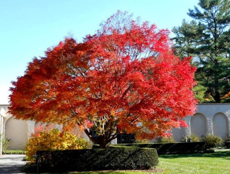 Maple Japaneze Fall