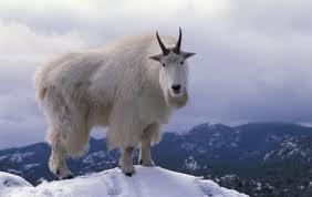capricorn-mountin-goat